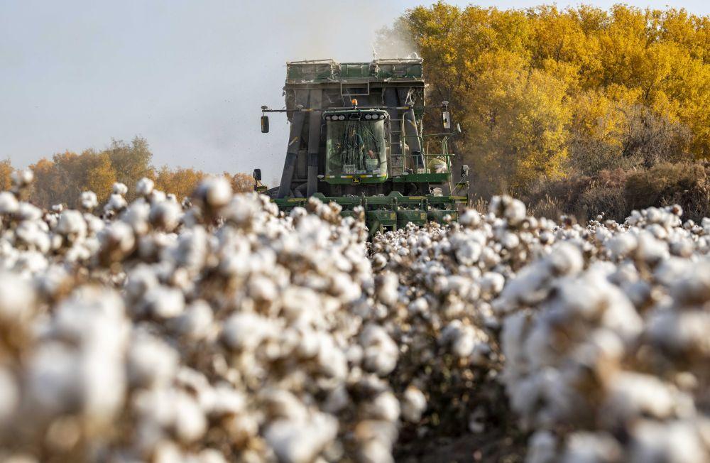 2020年10月23日,采棉机在新疆阿克苏地区沙雅县塔里木乡的棉田里采收棉花。新华社记者胡虎虎摄