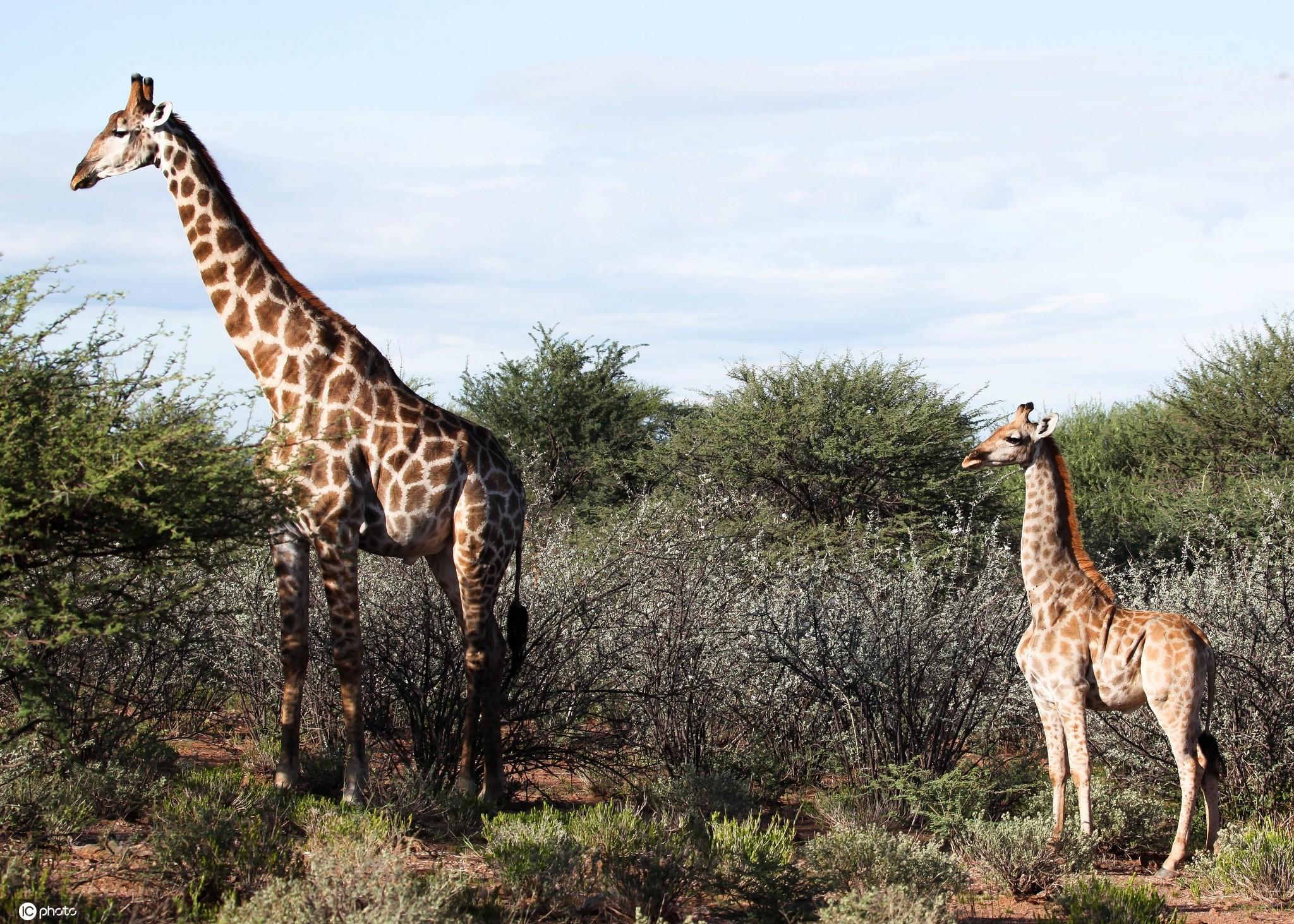 """非洲发现""""侏儒""""长颈鹿 体长不足3米短腿萌萌哒! 2021-01-11 07:52 IC photo   2021年1月11日报道(具体拍摄时间不详),一头普通成年长颈鹿的身高在18英尺左右,但动物保"""
