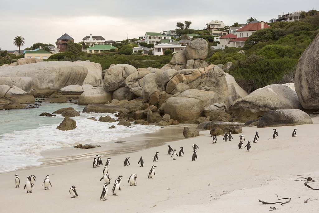 南非63只非洲企鹅死亡 疑似遭海角蜜蜂攻击所致